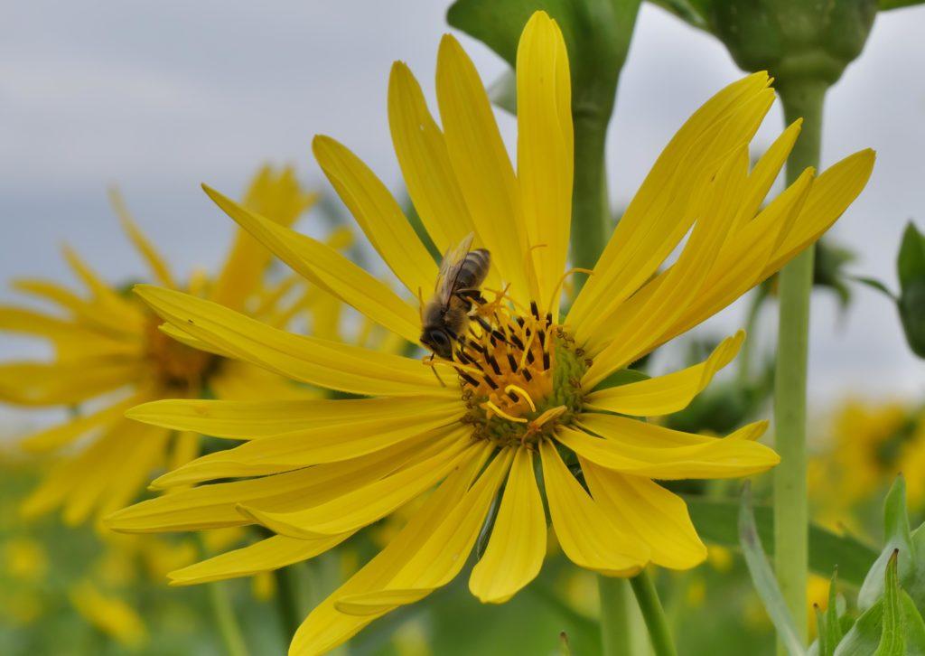 Honigbiene auf einer Blüte der Durchwachsenen Silphie auf dem landwirtschaftlichen Betrieb von Réne Blum